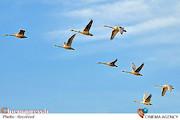 پرواز پرندگان مهاجر تالاب میانکاله