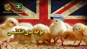 مستند «جوجههای انگلیسی»